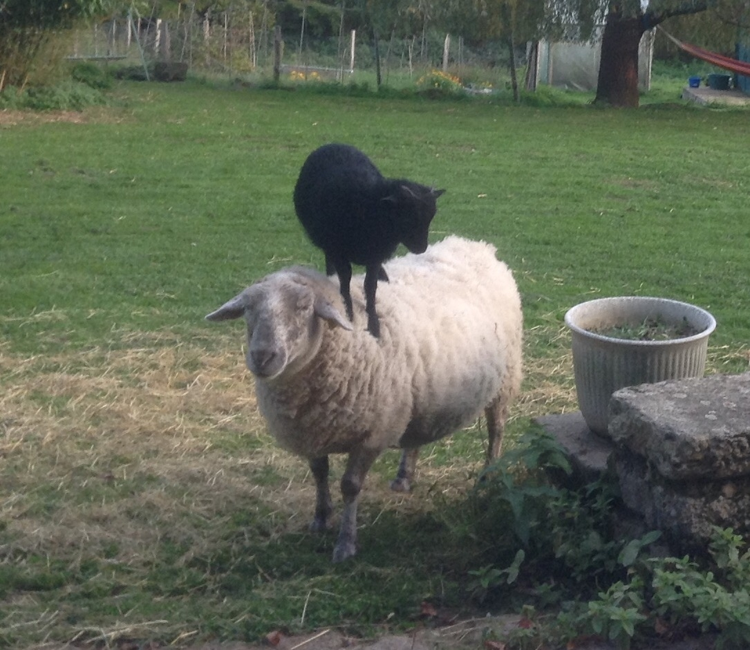 Funny picture of sheep