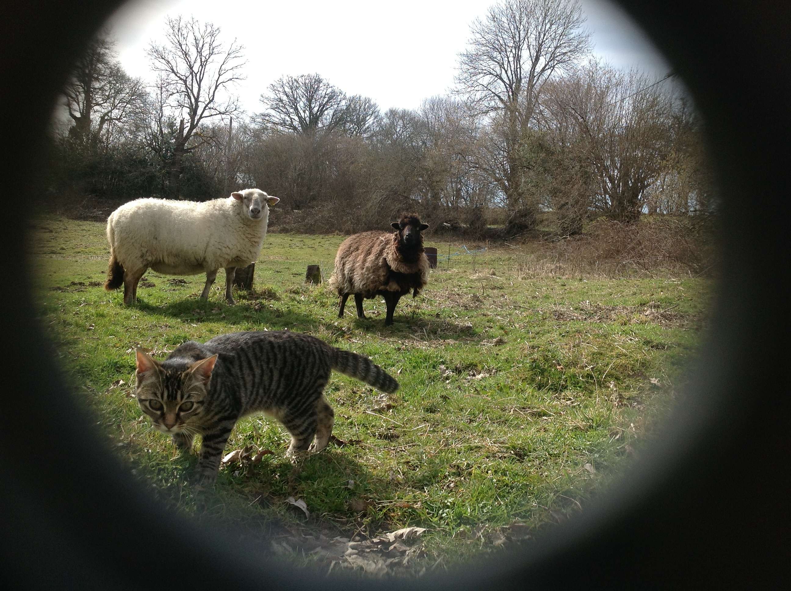 Picture of a cat and sheep