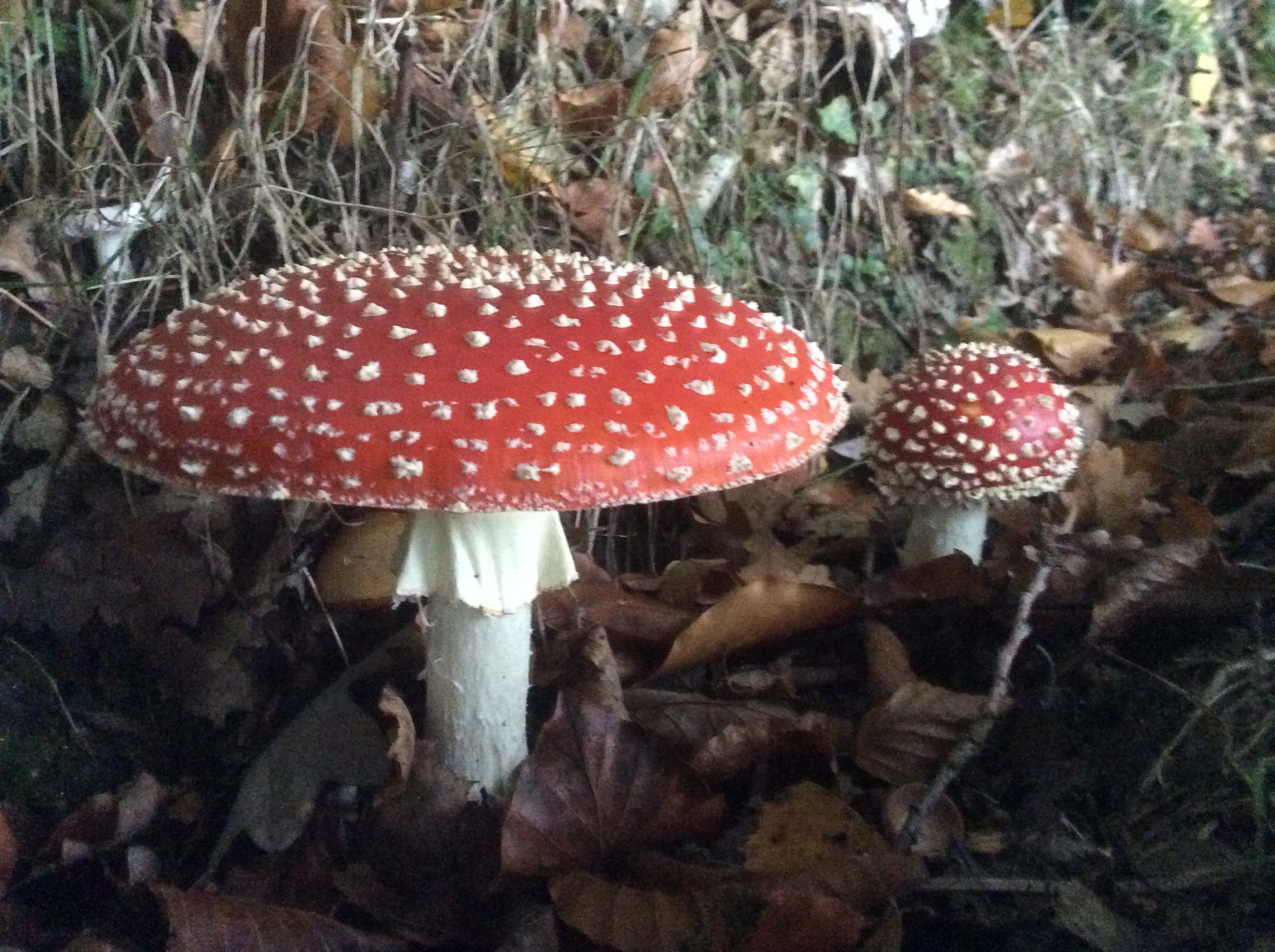 Picture of an Amanita muscaria